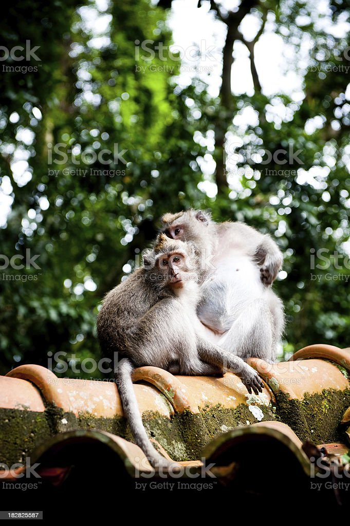 Monkey pair on rooftop in forest bali ubud royalty-free stock photo