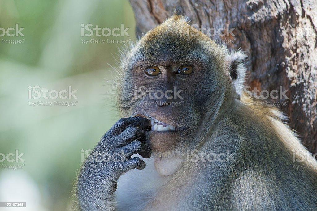 Monkey picking its teeth stock photo