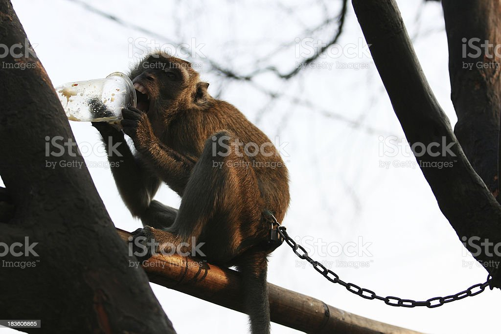 Monkey royalty-free stock photo