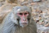 Monkey (Macaque rhesus)