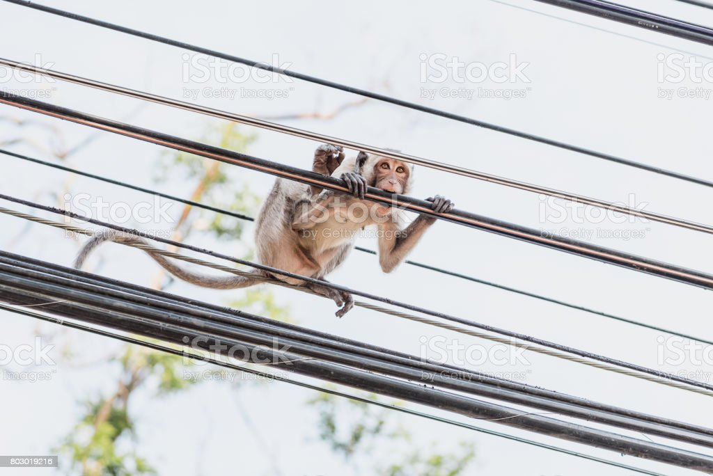 Monkey plays on power lines stock photo