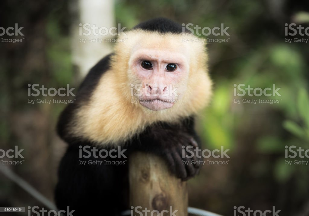 Monkey Portrait stock photo