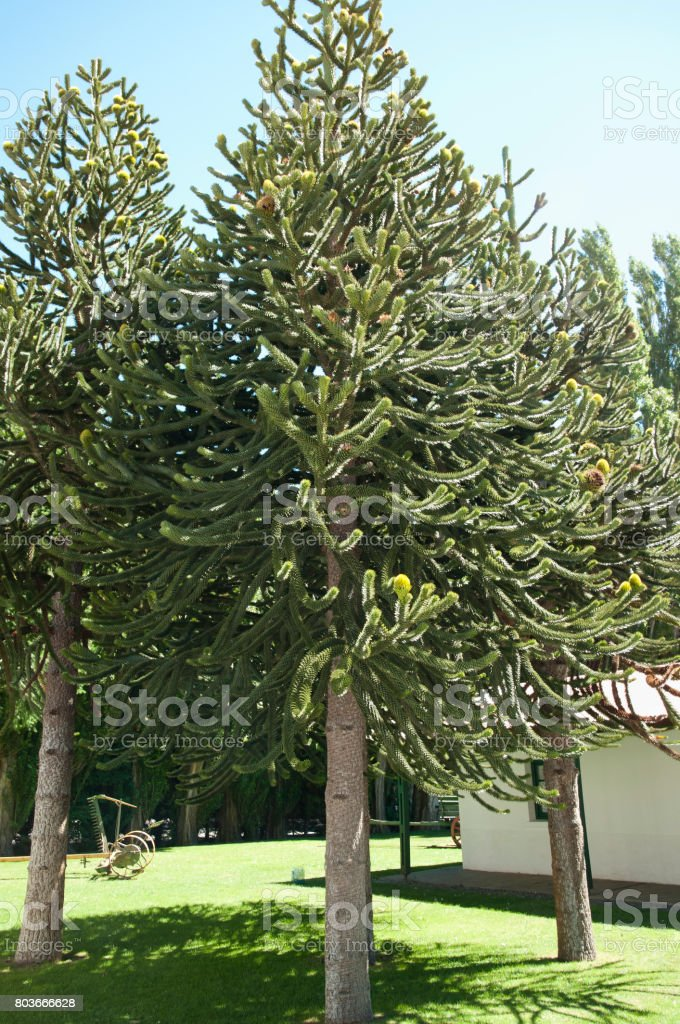 Monkey Puzzle Tree - Argentina stock photo
