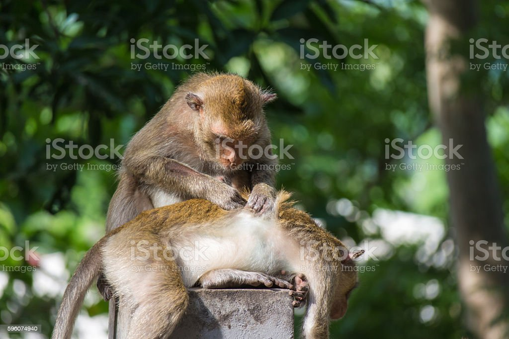 Monkey sitting and scratch other monkey stock photo