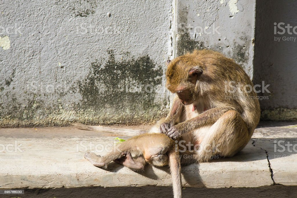 Monkey sitting and scratch young monkey stock photo