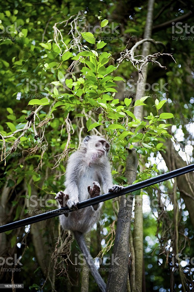 Monkey sitting on telephone cable bali ubud royalty-free stock photo