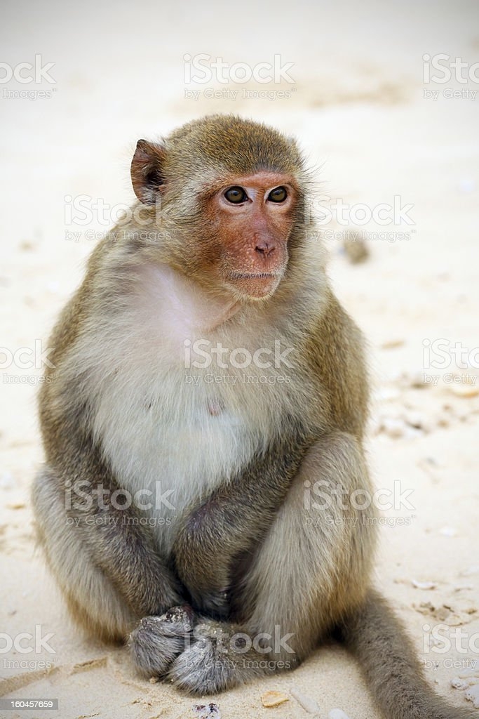 Monkey sitting on the beach in Asia royalty-free stock photo