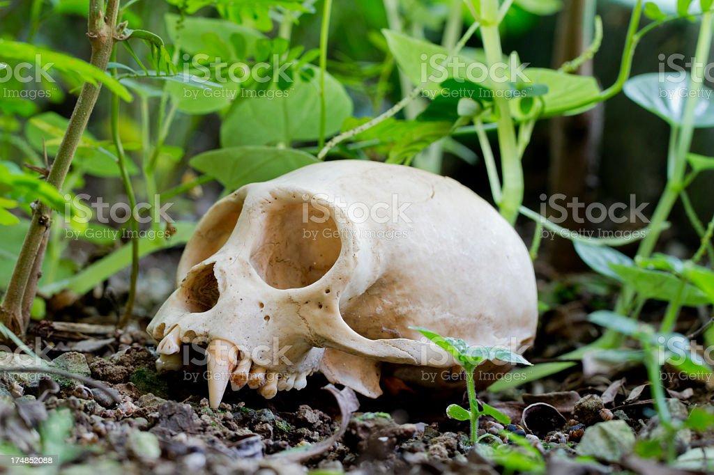 Monkey Skull on Rainforest Floor royalty-free stock photo