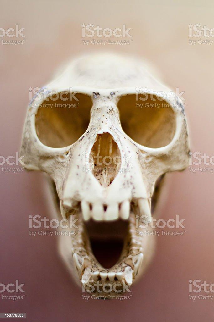 Monkey Skull royalty-free stock photo