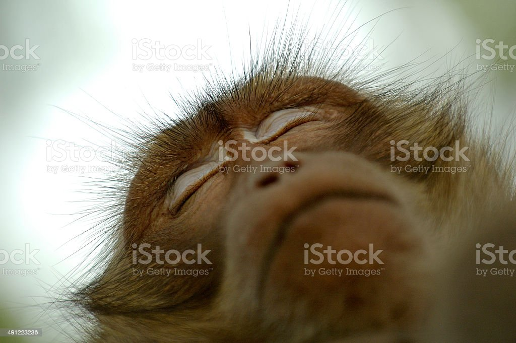Monkey Sleeping on Tree stock photo