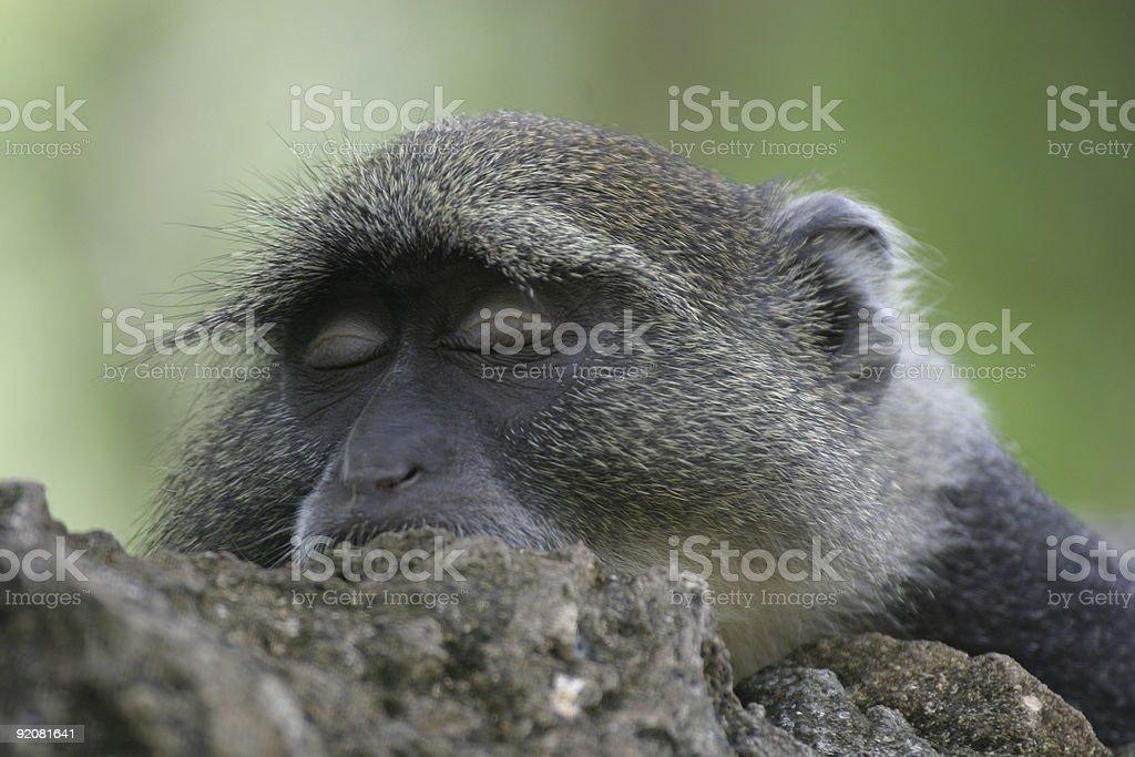 monkey sleeping royalty-free stock photo