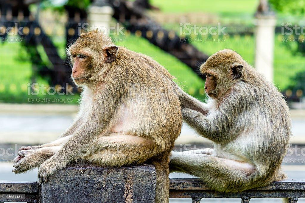 Monkey social skill, Lopburi Thailand. stock photo