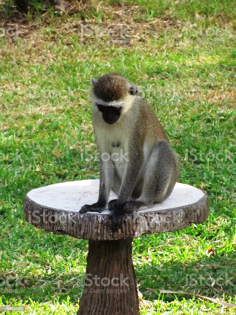 Affe -  S?dliche Gr?nmeerkatze - Vervet monkey - Kenia stock photo