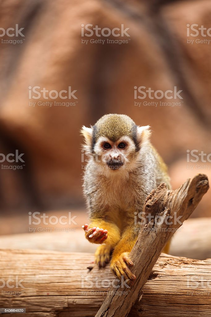 monkey standing on a tree stock photo
