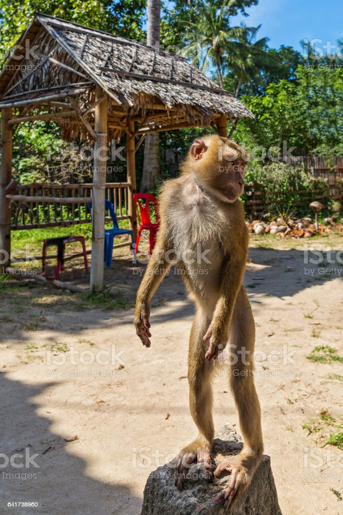 Monkey stands on a stone stock photo