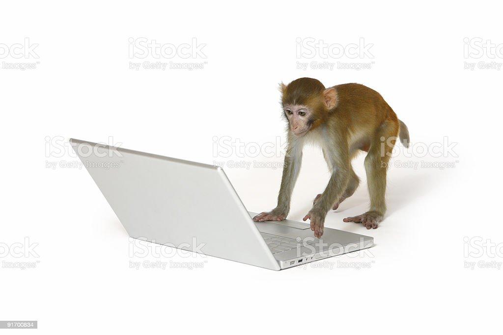 Monkey using a laptop computer stock photo