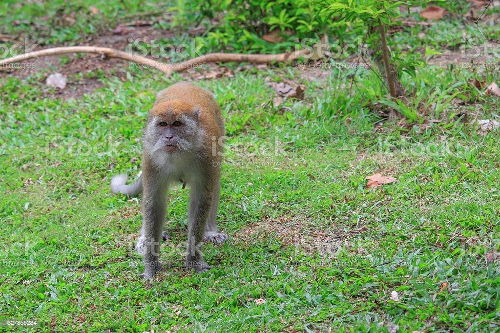Monkey Walking on the grass stock photo