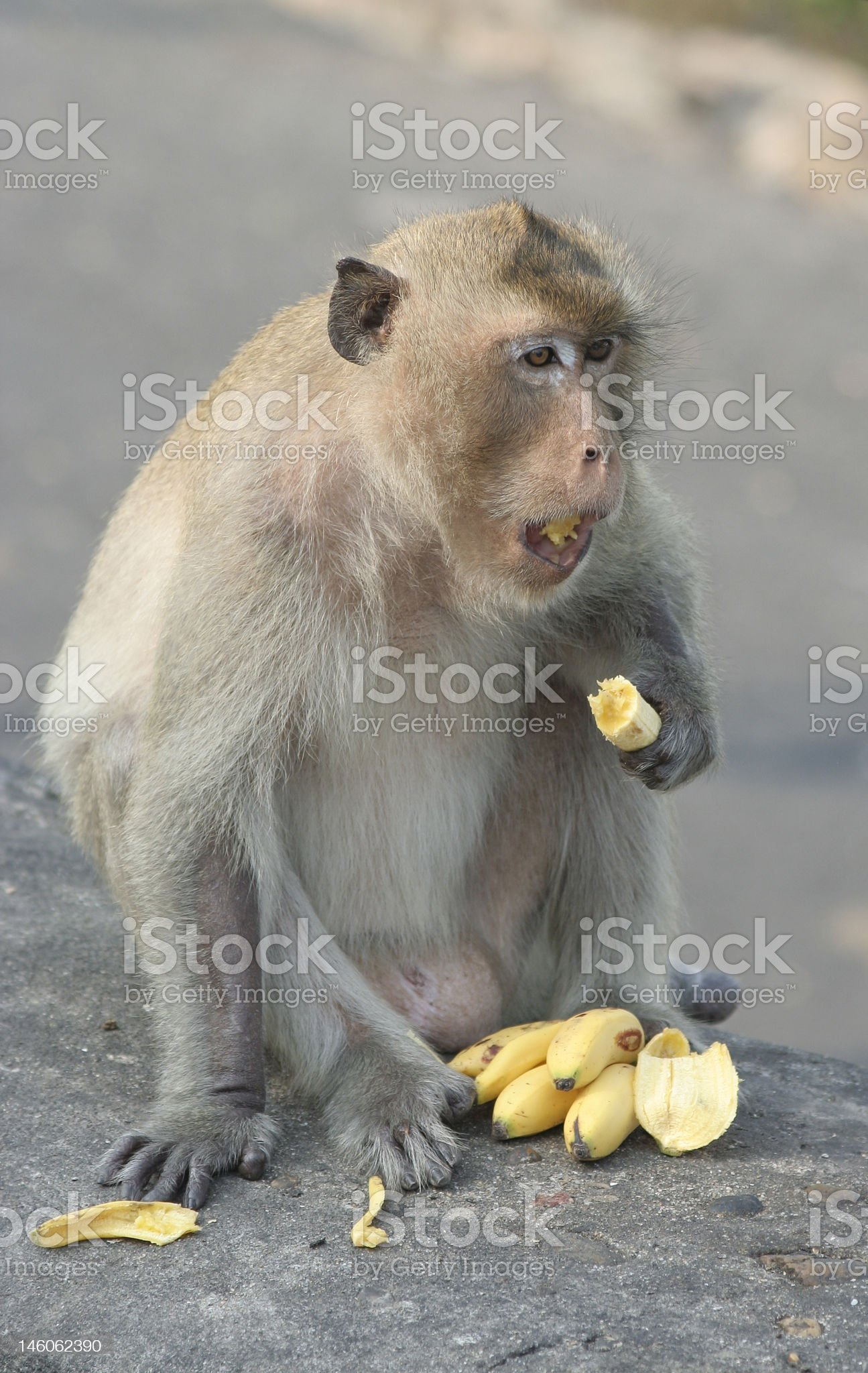 Monkey with bananas royalty-free stock photo