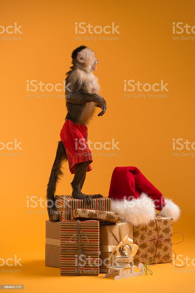 Monkey with Christmas gift boxes stock photo