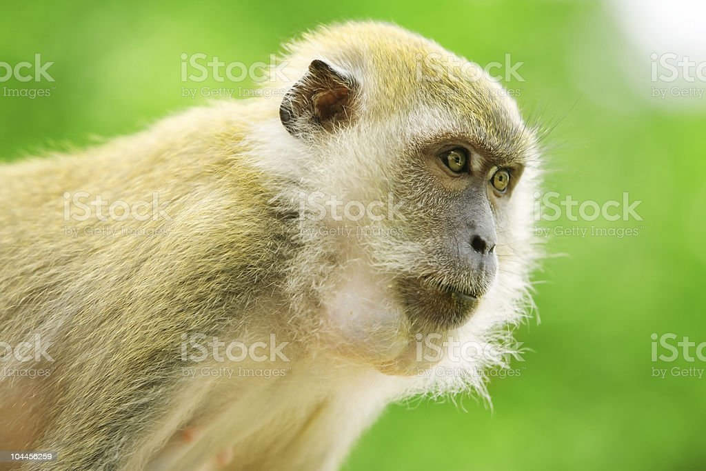 Monkey with intense stare royalty-free stock photo