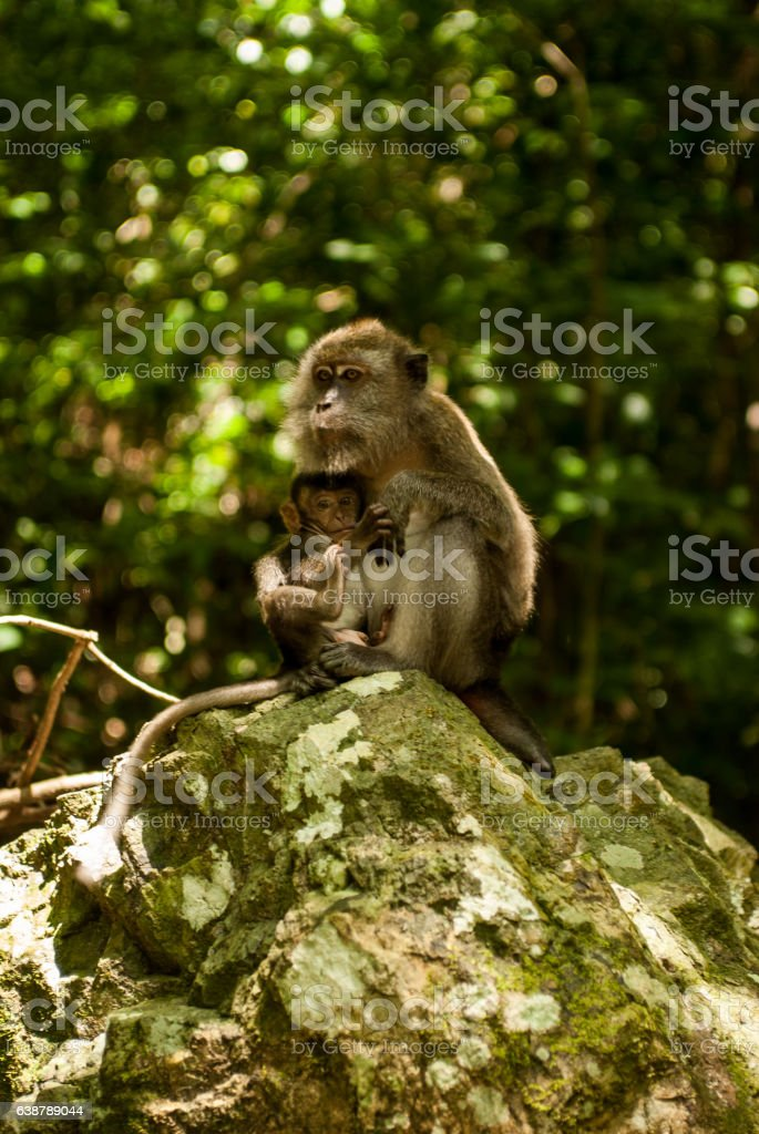 Monkey with young on a rock stock photo