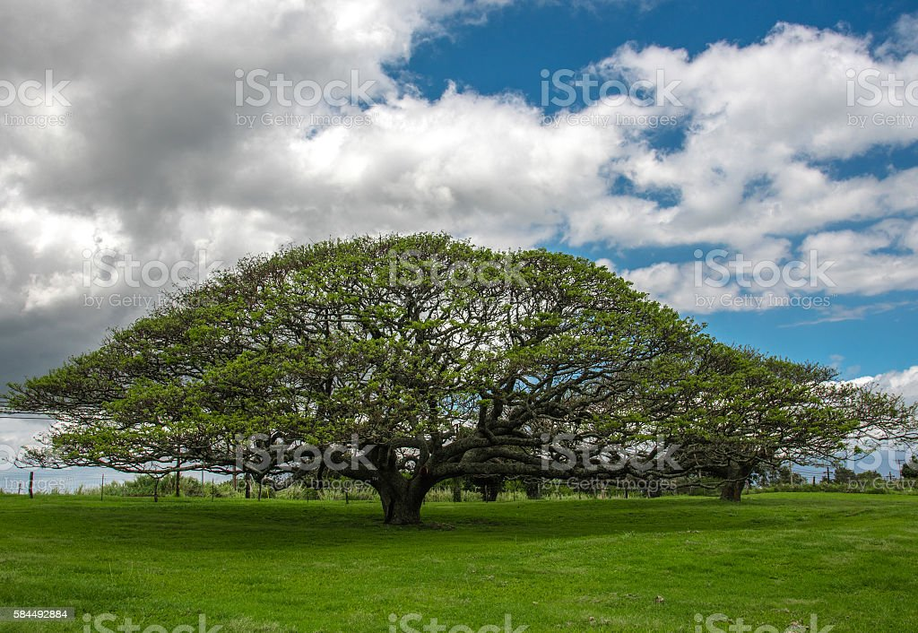 Monkeypod Tree at Upcountry Maui stock photo