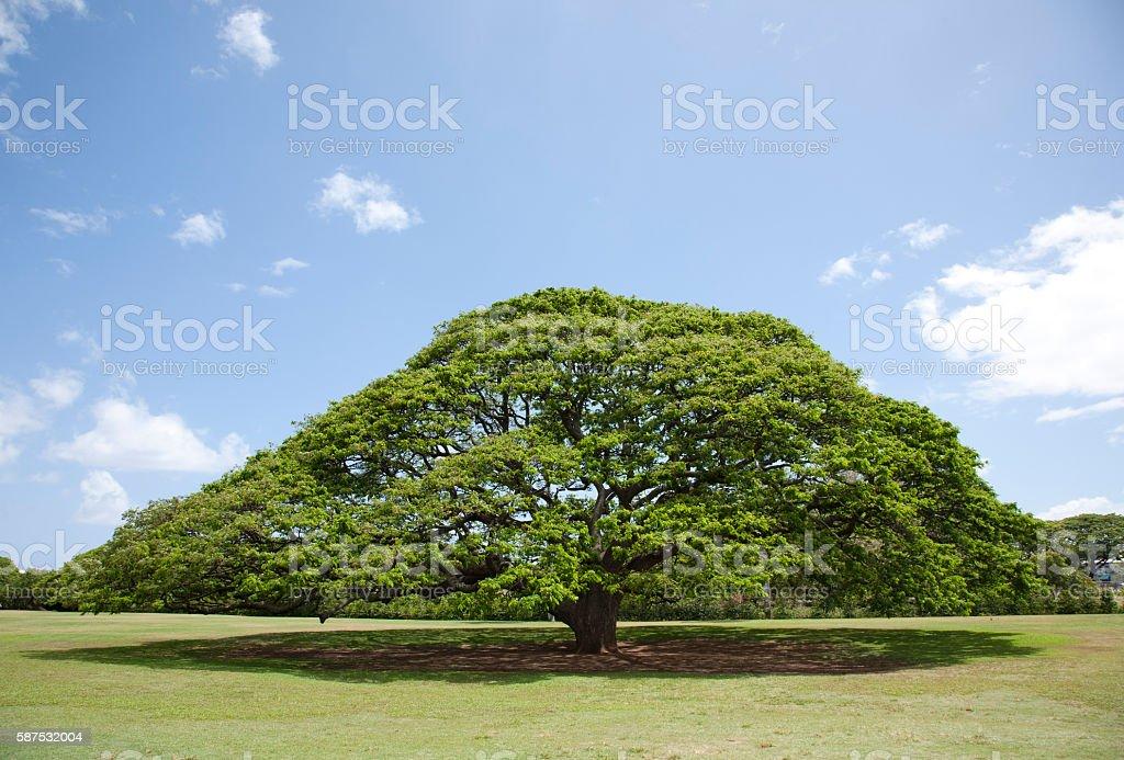 Monkeypod Tree stock photo