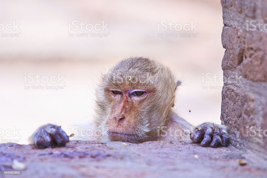 Monkeys are curious,Lopburi Province, Asia Thailand. royalty-free stock photo