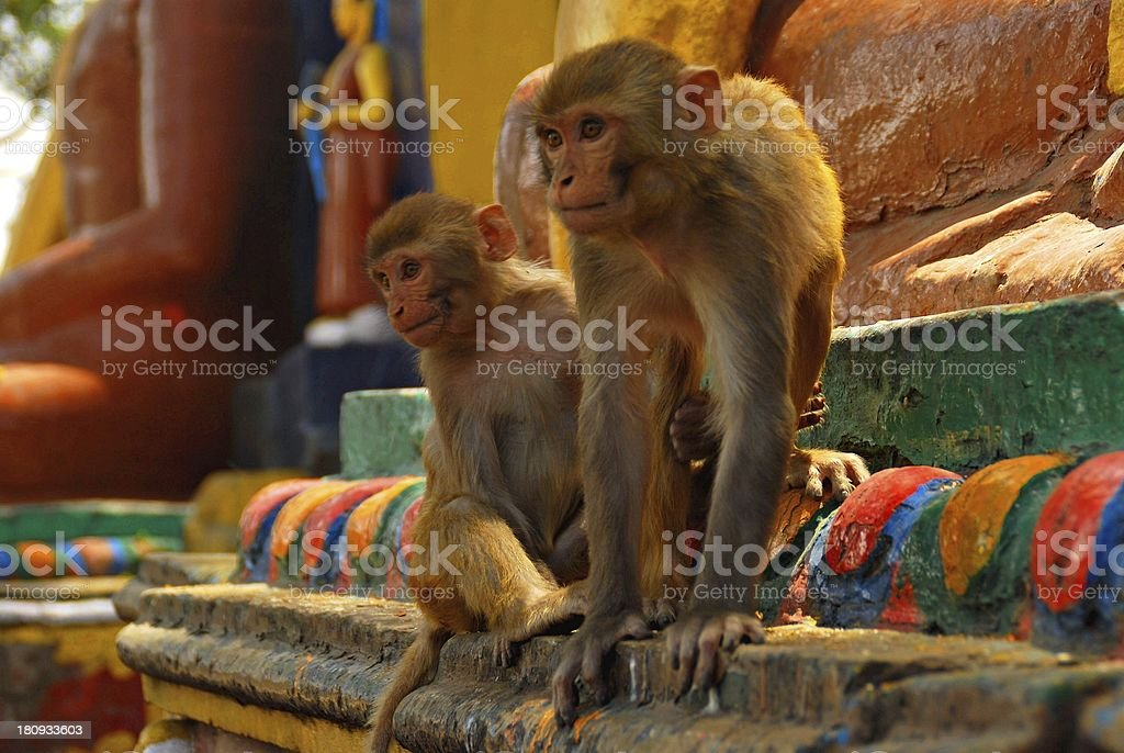 Monkeys at the Monkey Temple in Kathmandu, Nepal royalty-free stock photo