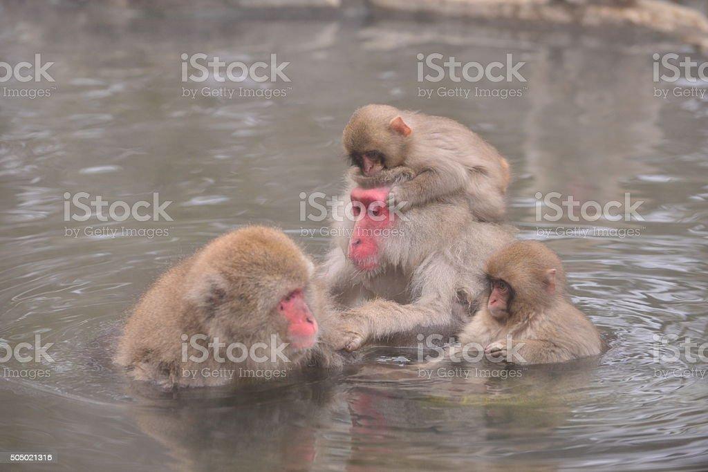 Monkeys at Wild Snow Monkey Park, Japan stock photo