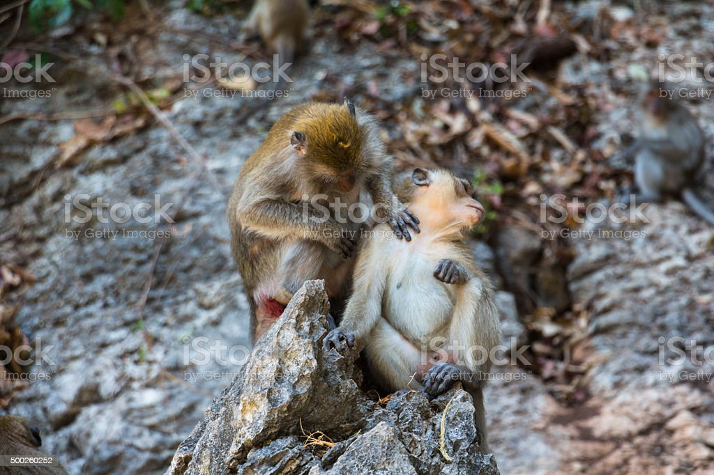 Monkeys cleaning each other stock photo