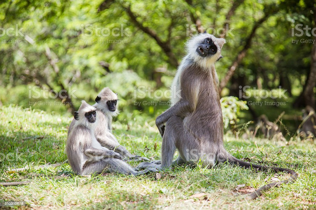 Monkey's family (Gray langurs) in Polonnaruwa, Sri Lanka stock photo
