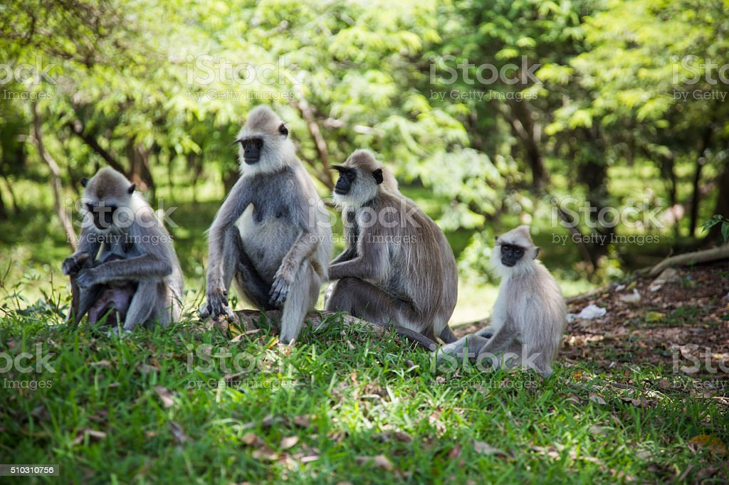 Monkey's family (Gray langurs) in Polonnaruwa, Sri Lanka stock photo