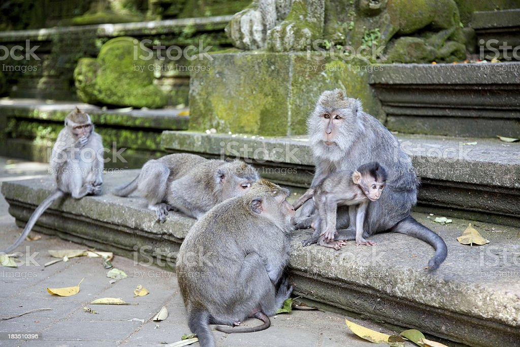 Monkey's family royalty-free stock photo