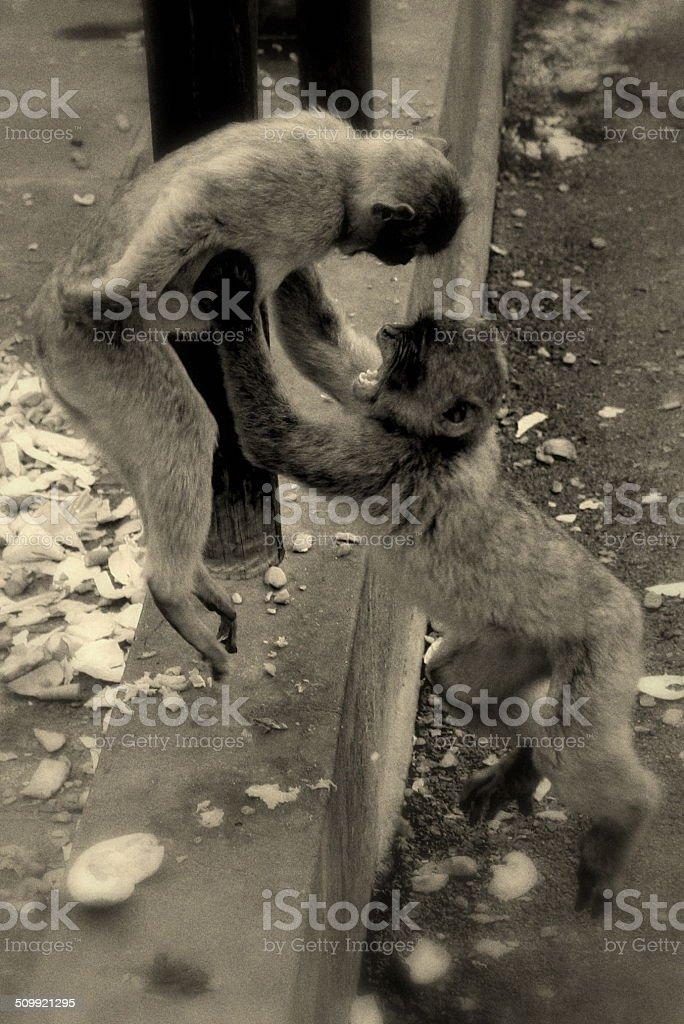 Macacos Brigando na Flutuar no Ar foto de stock royalty-free