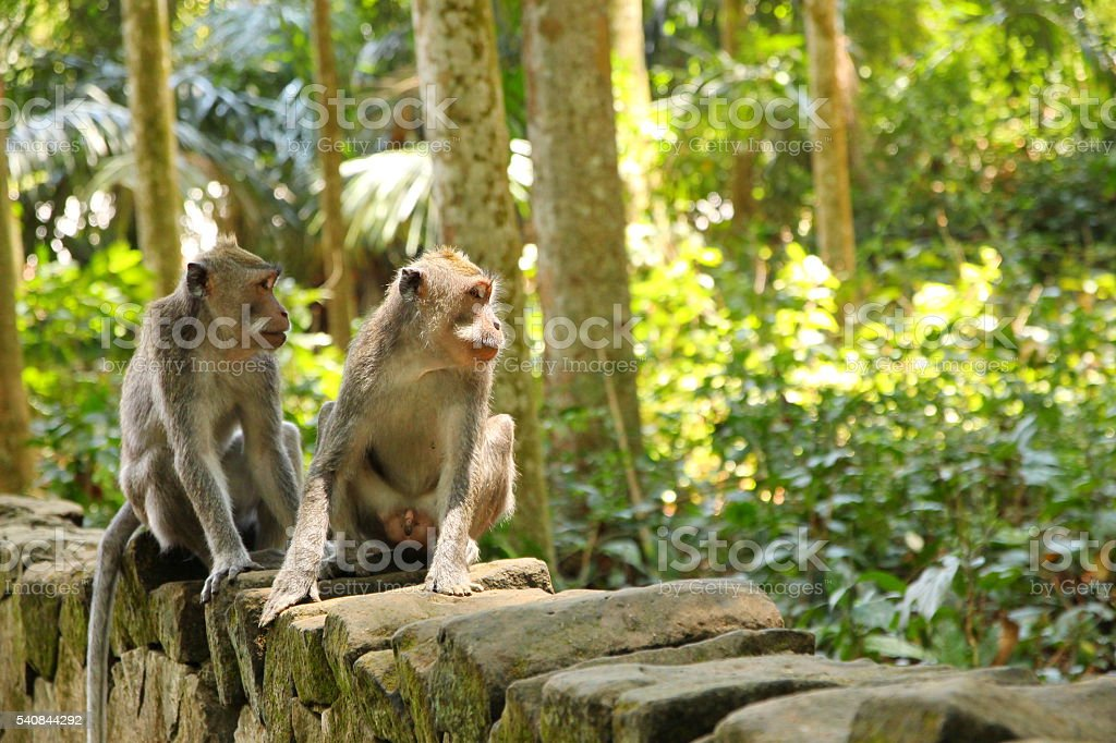 Monkeys from the Bali Island, Indonesia stock photo