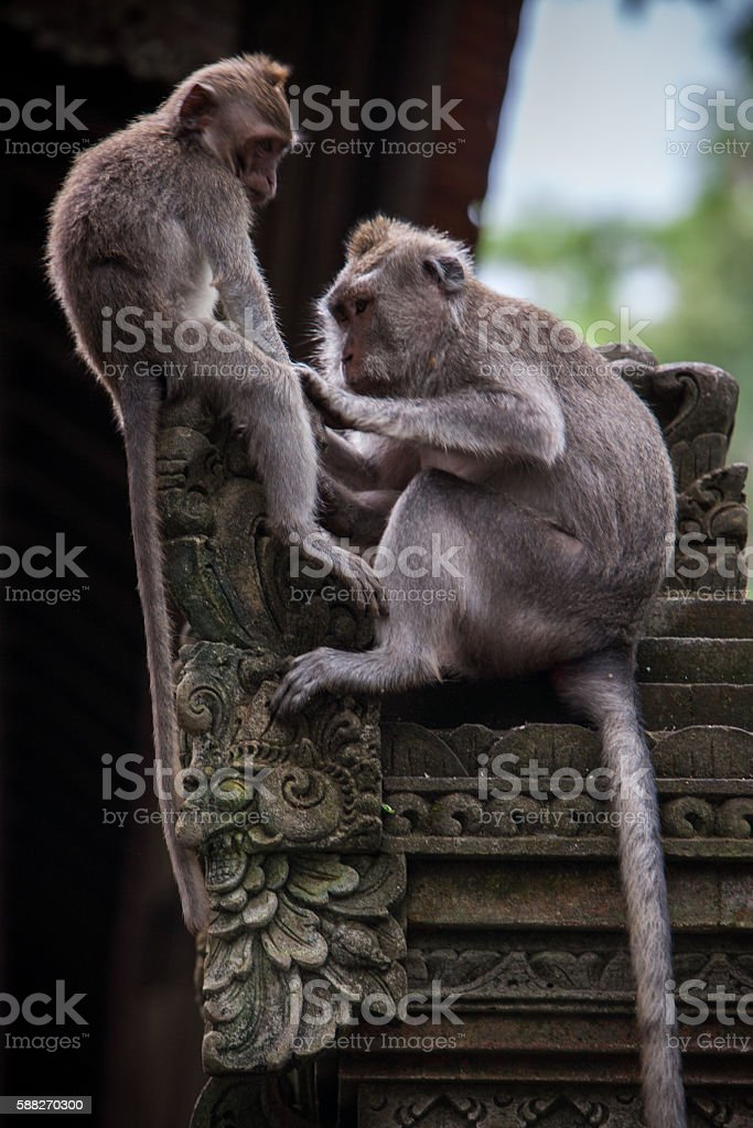 monkeys grooming in the temple stock photo