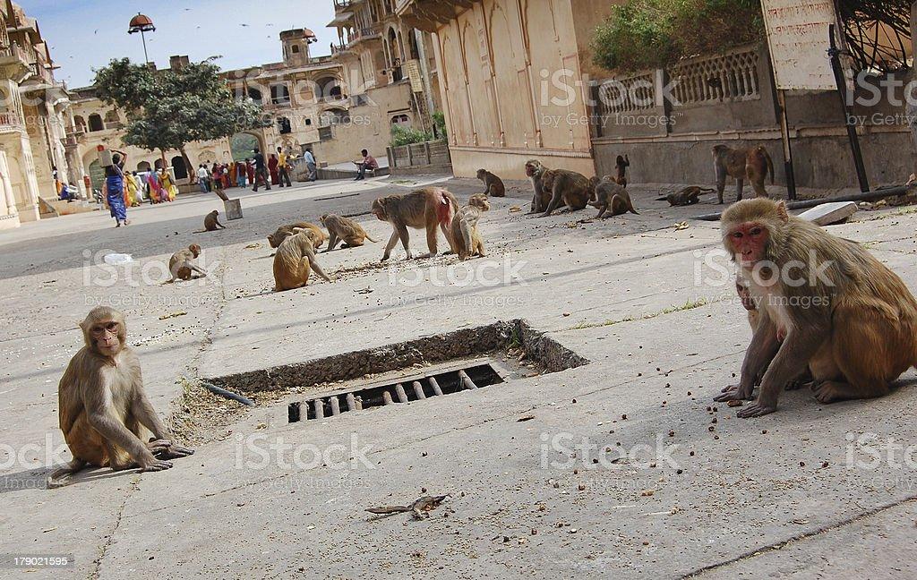 Monkeys in Galtaji Temple, nearby Jaipur, India royalty-free stock photo
