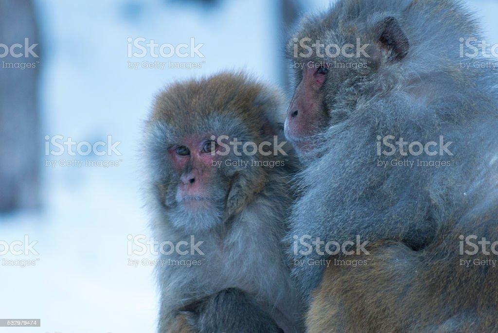 Monkeys in Gulmarg stock photo