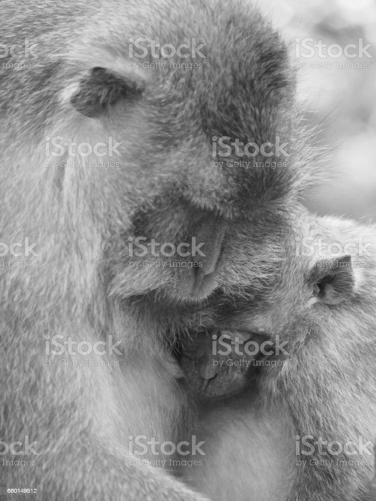Monkeys in Love stock photo