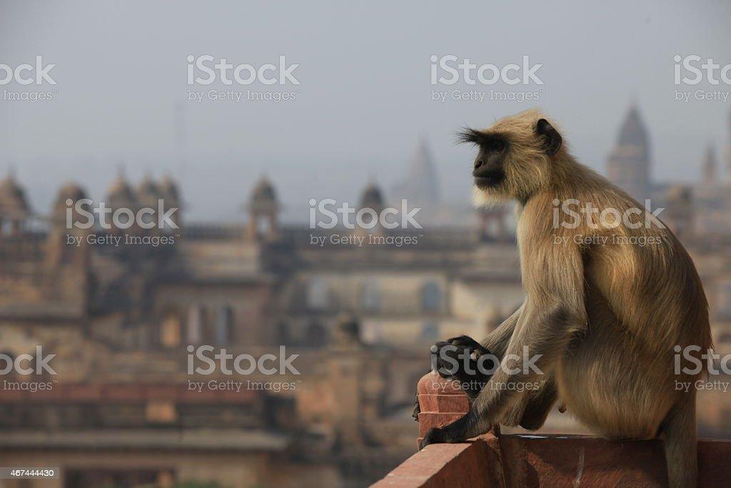 Monkeys in Orchha stock photo