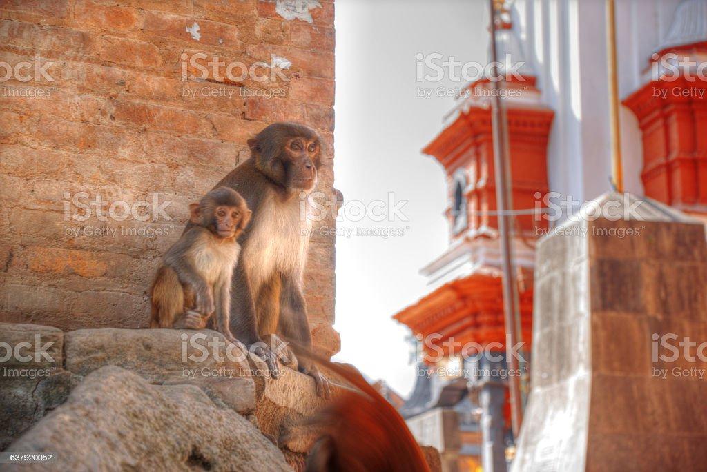 Monkeys in Pashupatinath stock photo