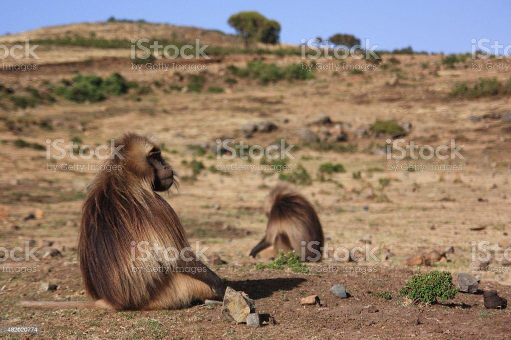 Monkeys in Semien Mountains royalty-free stock photo