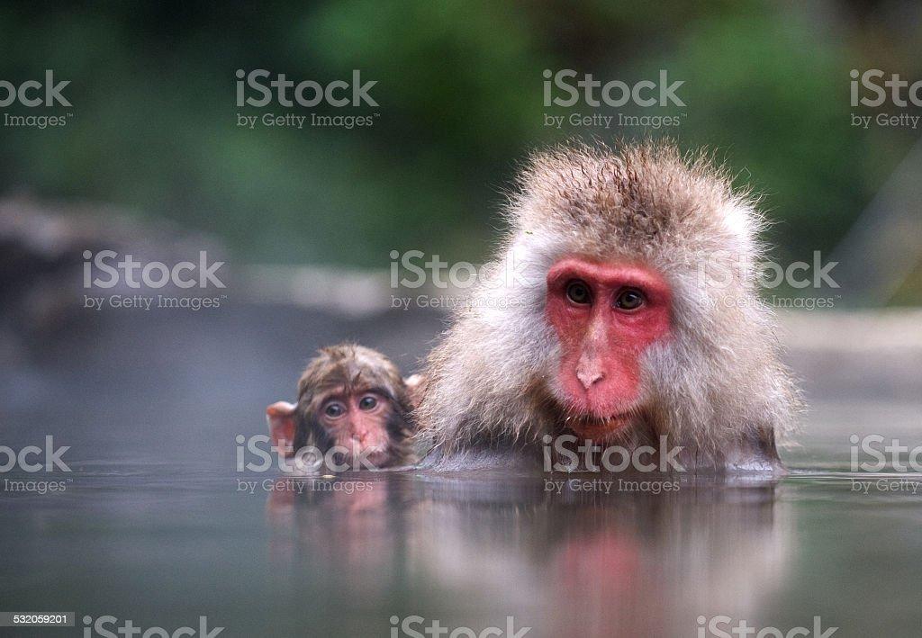 Monkeys in the water stock photo