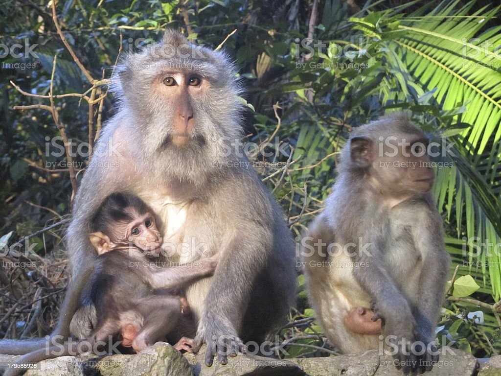 monkeys in Ubud, Bali stock photo