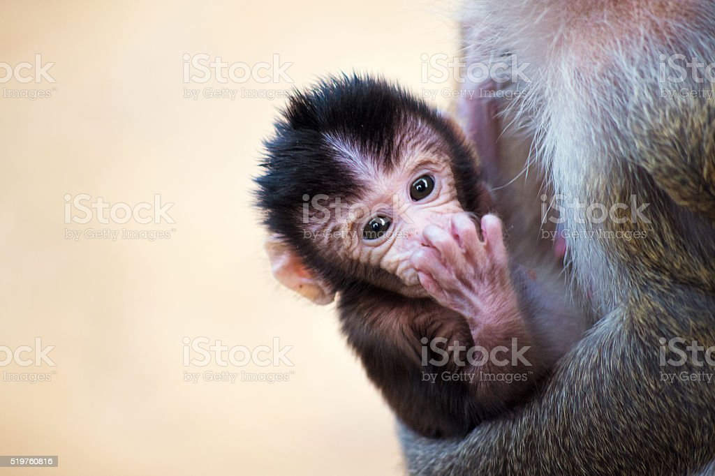 Monkeys of Angkor Wat, Cambodia stock photo