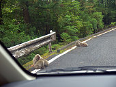 Monkeys on the road