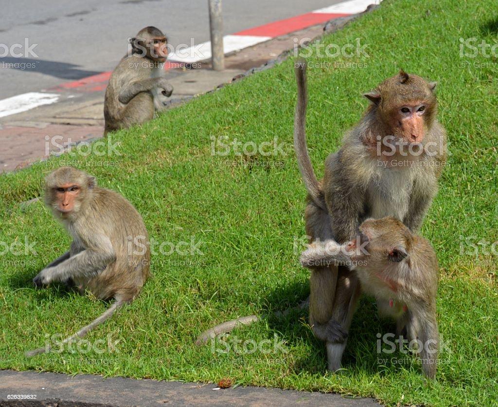 Monkeys on the street outside Prang Sam Yot temple, Lopburi stock photo