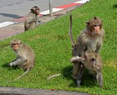 Monkeys on the street outside Prang Sam Yot temple, Lopburi