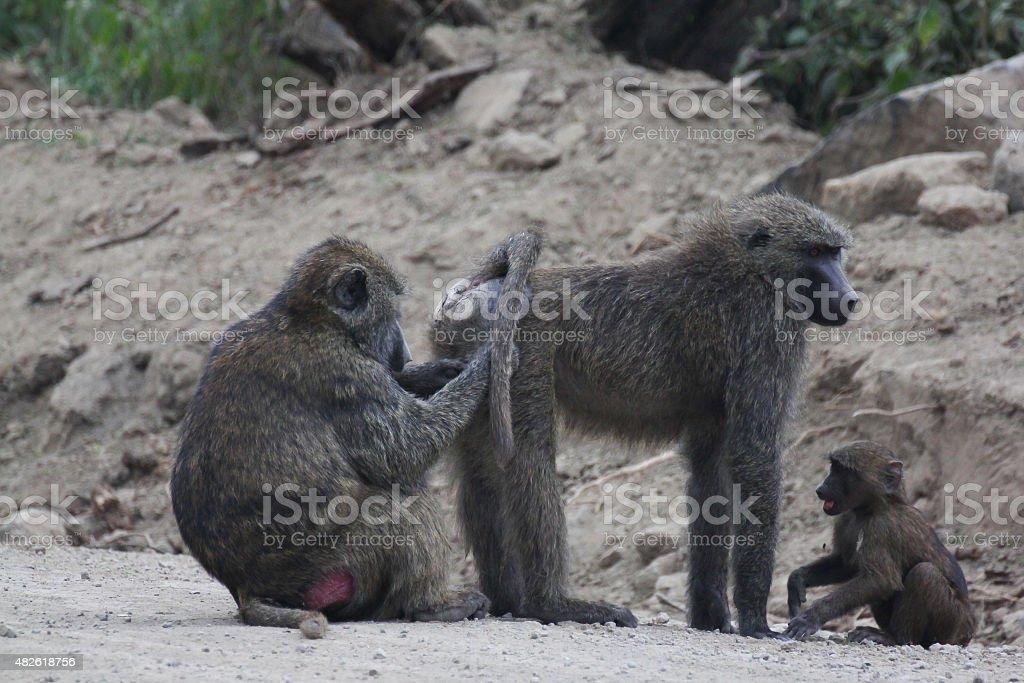 Monkeys picking lice royalty-free stock photo